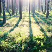 Sunrise in forest wallpaper